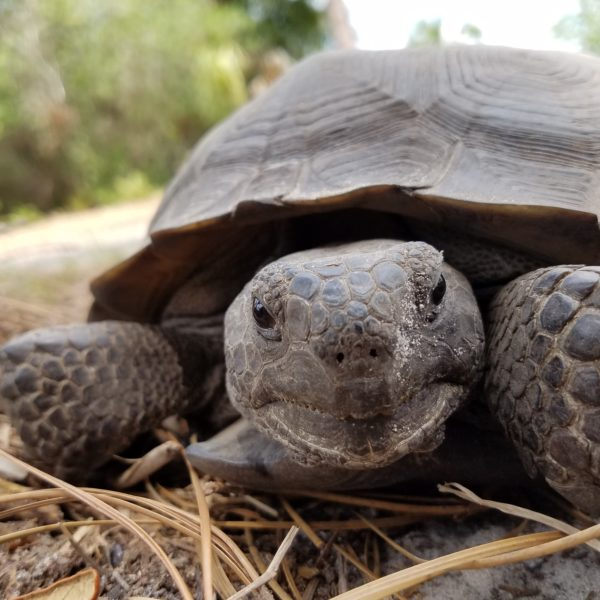 cutest gopher tortoise picture ever